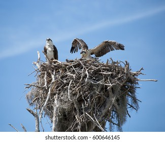 Female Osprey (Pandion haliaetus) on her nest In the Florida Everglades with a juvenile spreading his wings