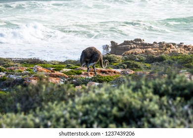 Female ostrich walking along the Atlantic ocean shore against stormy waves in South Africa.