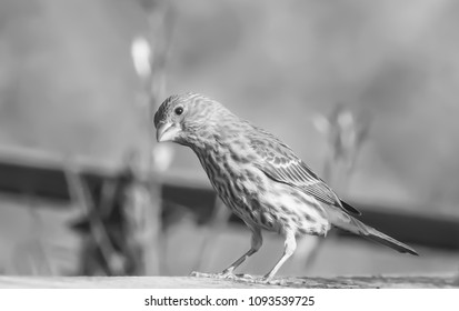 Female ouse finches Kentucky black and white