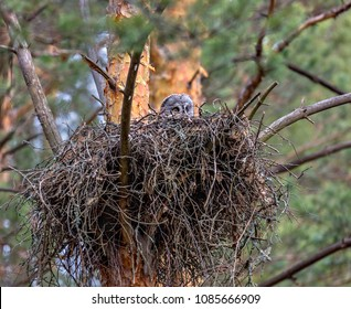 The female owl of a very rare species of Strix Nebula is hatching chicks in a nest high on a tree in the forest. Russia