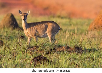 Female pampas deer in the cerrado biome of Minas Gerais - Brazil