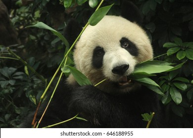 Female panda is eating bamboo leaves