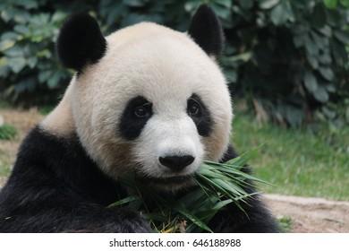 Female panda is eating bamboo leaves