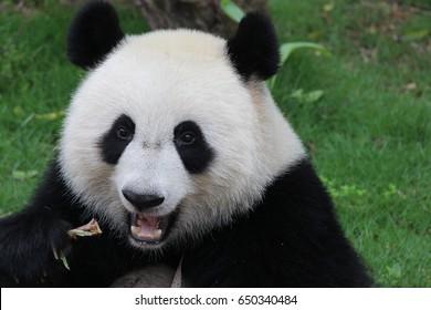 Female panda is eating bamboo stick