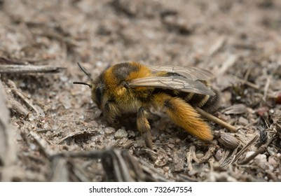 Female pantaloon bee, Dasypoda hirtipes on sand