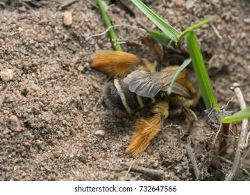 Female pantaloon bee, Dasypoda hirtipes digging in sand