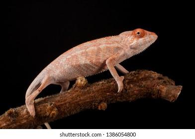 Female panther chameleon (Furcifer pardalis) from the area around Ambilobe, Madagascar