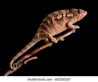 Female panther chameleon - Furcifer pardalis Ambilobe female