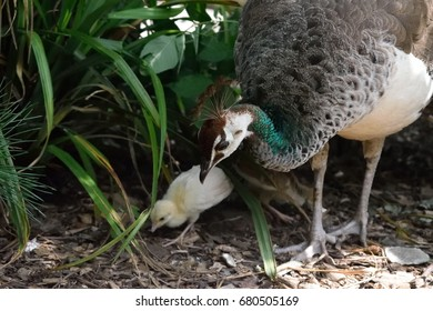 A female peacock protects its chicks