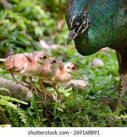 Female Peacock with three of newborn baby