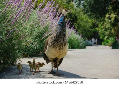 Female Peacock walking around with her babies at Los Angeles, California