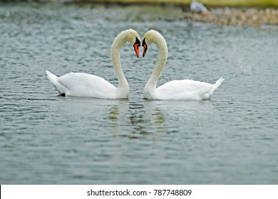 Female, Pen, and Male, Cob Mute swans, Cygnus olor, selective focus and diffused background, making a love heart between heads while courting in early spring, The Cotswolds, Gloucestershire, UK