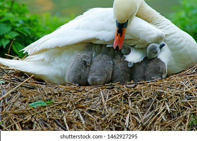 Female, Pen, Mute Swan, Cygnus olor, checks all her cygnets are underneath her for a sleep on their nest in Stratford Park, Stroud, Gloucestershire, UK