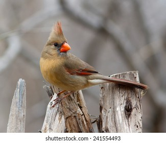 Female perched Northern Cardinal