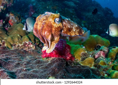 Female Pharaoh Cuttlefish (Sepia pharaonis) laying eggs on a tropical coral reef (Richelieu Rock)