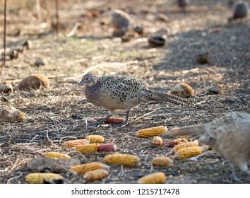 Female of pheasant