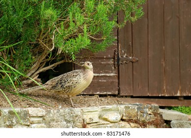 female pheasant by old wooden garden shed