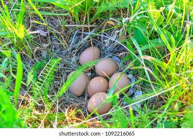 Female pheasant eggs. Abandoned nest with female pheasant eggs.