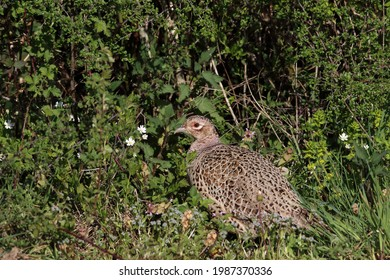 A female Pheasant scratching around in the hedgerow.