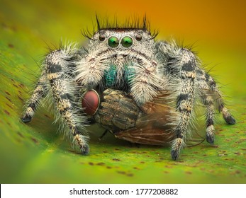 A Female Phidippus Adumbratus eating a housefly. Macro Close-up. A beautiful Jumping Spider having a meal on a leaf. White-coloured Spider.