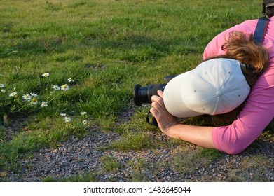 Female photographer is taking pictures of white daisy or mayweed flowers growing on green grass. A woman in pink shirt and white cap photographing nature gets very close to her target on the ground.