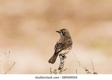 Female Pied Bushchat perched on a stem in isolated background