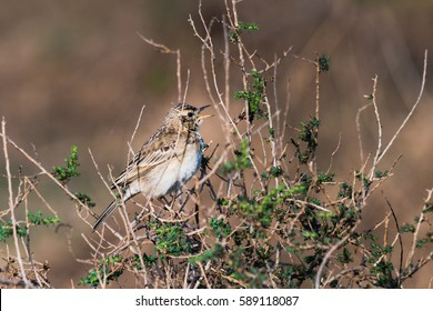 Female Pied Bushchat perched on a bushes and watching