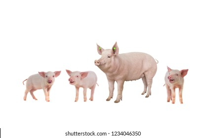 female and piglets  isolated on white background