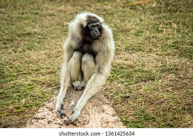 Female Pileated Gibbon at the Gladys Porter Zoo, Brownsville Texas