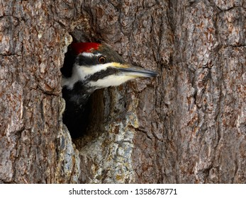 Female Pileated Woodpecker sticking her head out of a nest hole