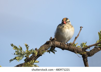 A female pin-tailed whydah perched on an acacia branch