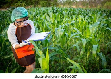 Female plant researchers are checking and taking notes in corn fields.