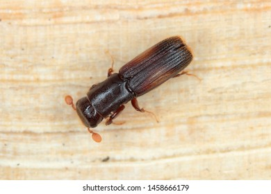 Female of Platypus cylindrus, commonly known as the oak pinhole borer, is a species of ambrosia beetle in the weevil family Curculionidae formerly Platypodidae. Pest in forests.
