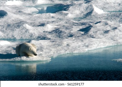 A female polar bear faces the evening sun as she takes a nap on a melting ice floe in Baffin Bay, between Canada and Greenland.