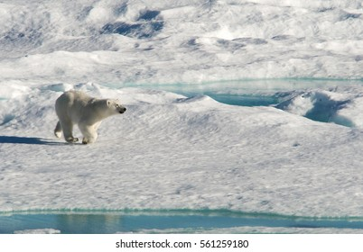 A female polar bear jogs toward the evening sun on a melting ice floe in Baffin Bay, between Canada and Greenland,