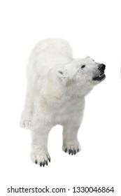 female polar white bear goes isolated on a white background