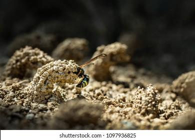Female Potter wasp building her nest, endangered species