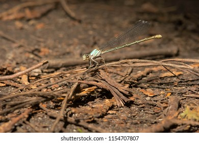 Female Powdered Dancer Damselfly perched on a dead twig on the ground. Rouge National Urban Park, Toronto, Ontario, Canada.