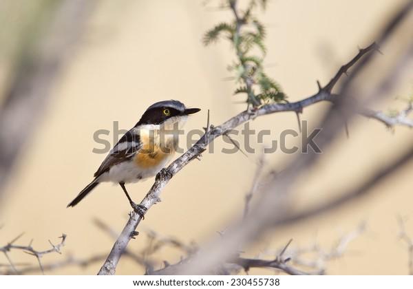 A female Pririt Batis (Batis pririt) perched in an Acacia tree, against a blurred natural background, Kalahari desert, South Africa