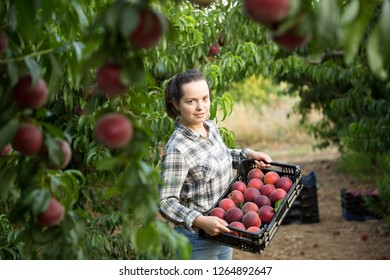 Female  professional horticulturist holding crate with  peaches in garden