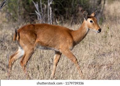 Female Puku Antelope (Kobus vardonii) the Chobe National Park region of northern Botswana, Africa.