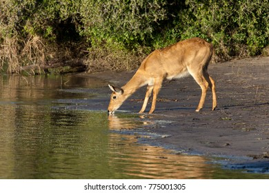 A female Puku (Kobus vardonii) drinking from the Chobe River in the late afternoon sunshine. Chobe National Park in northern Botswana.