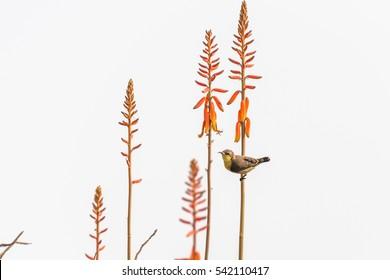 Female Purple Sunbird perched on stem of Alovera flower