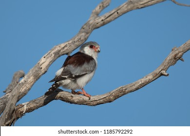 A female Pygmy Falcon also known as African Pygmy Falcon (Polihierax semitorquatus) perched on a dead tree against a clear blue sky, Kalahari desert, South Africa