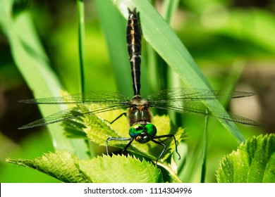 Female Racket-tailed Emerald Dragonfly perched on a leaf. Lake Dalyrmple, Kawartha Lakes, Ontario, Canada.