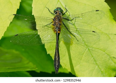 Female Racket-tailed Emerald Dragonfly perched on a leaf. Carden Alvar Provincial Park, Kawartha Lakes, Ontario, Canada.