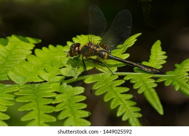 A female Racket-tailed Emerald Dragonfly is perched on a green fern leaf.Carden Alvar Provincial Park, Kawartha Lakes, Ontario, Canada.