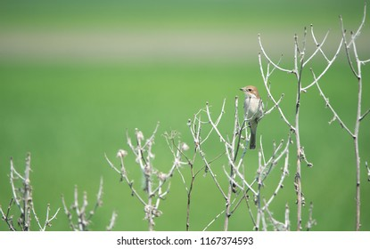 female red backed shrike on a soft green background sitting in the leafless brushwood - Burgenland Austria