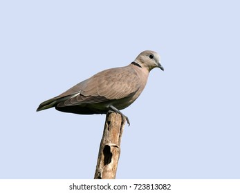 Female Red Collared Dove or Red Turtle Dove (Streptopelia tranquebarica), lovely bird perched on old decay bamboo pole with blue sky background.