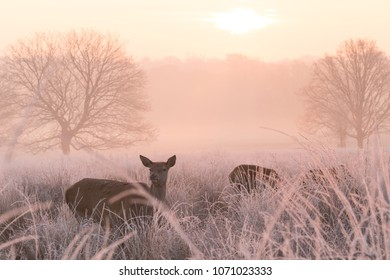 Female Red Deer (Cervus elaphus) grazing in a cold and frosty meadow near London in England, UK at Dawn.